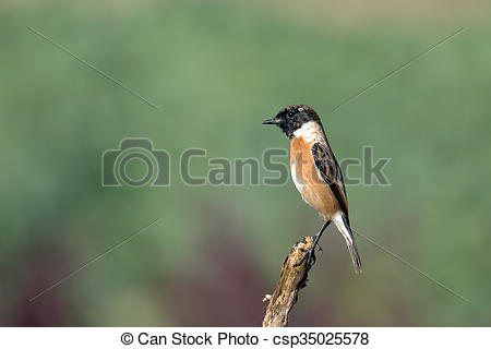 Stonechat clipart #13, Download drawings