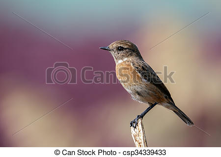 Stonechat clipart #15, Download drawings