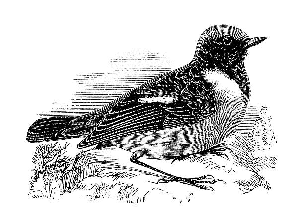 Stonechat clipart #17, Download drawings