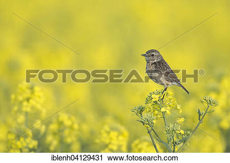 Stonechat clipart #1, Download drawings
