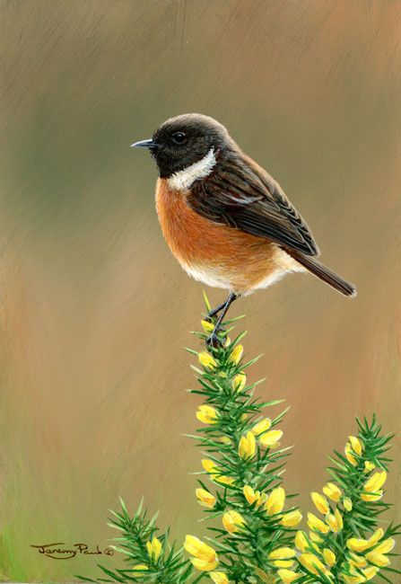 Stonechat coloring #20, Download drawings