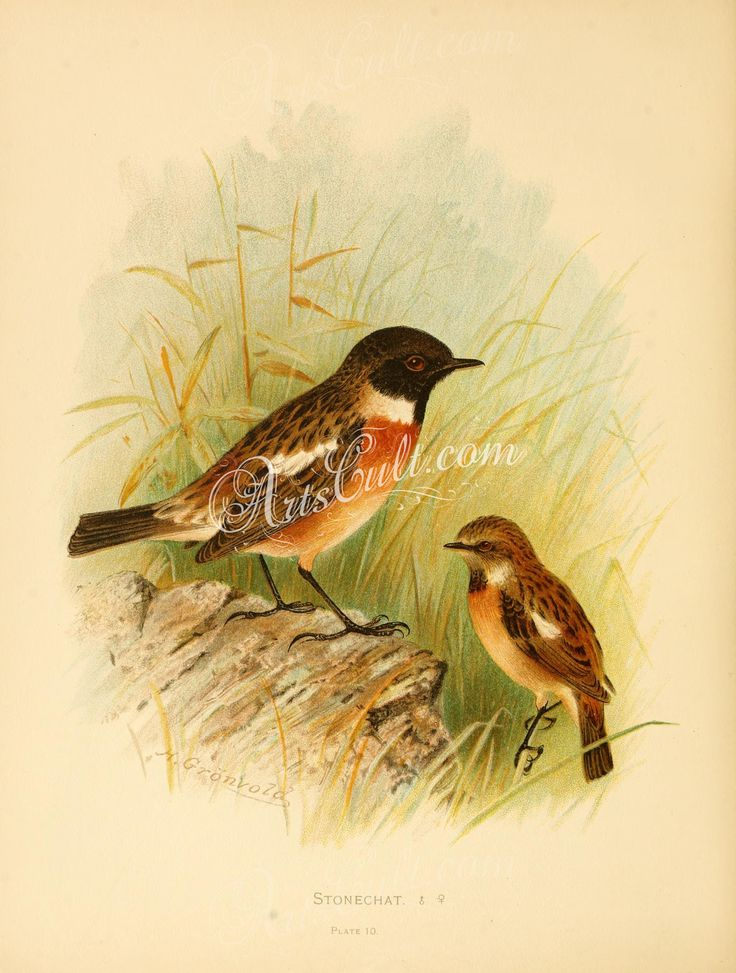 Stonechat coloring #11, Download drawings