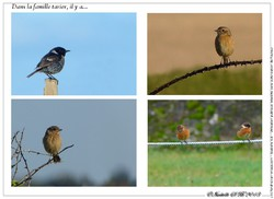 Stonechat coloring #8, Download drawings