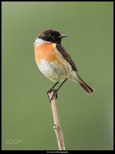 Stonechat coloring #10, Download drawings