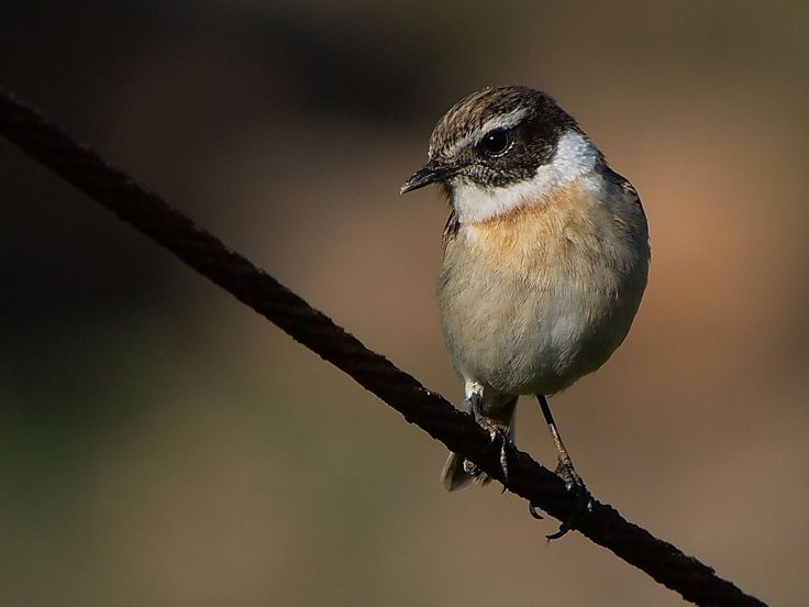 Stonechat coloring #9, Download drawings