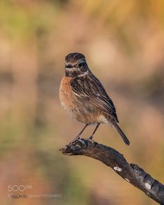 Stonechat coloring #7, Download drawings