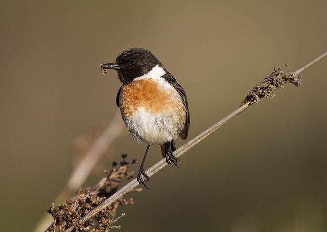 Stonechat coloring #3, Download drawings