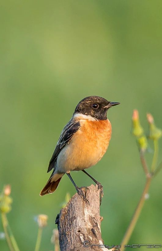Stonechat coloring #19, Download drawings