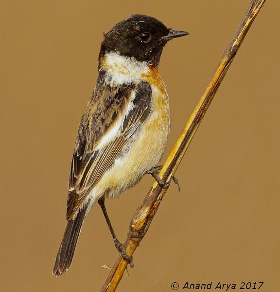Stonechat coloring #17, Download drawings