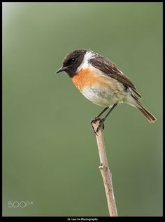 Stonechat coloring #13, Download drawings