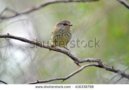 Striated Thornbill clipart #17, Download drawings