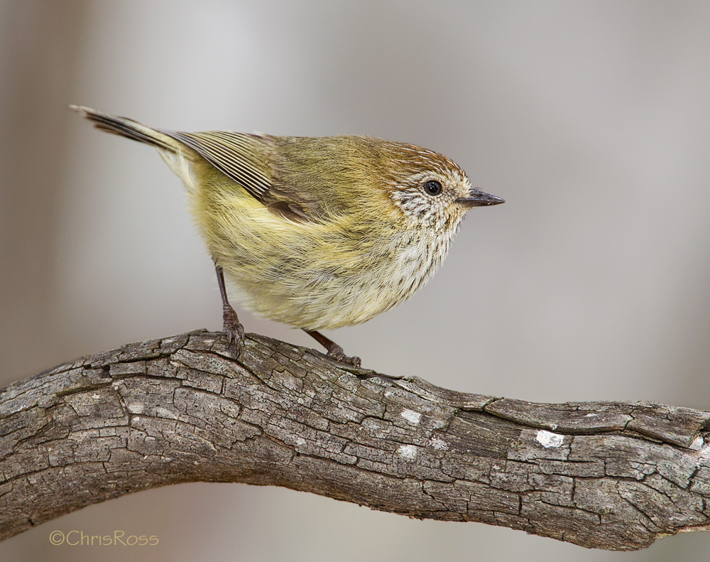 Striated Thornbill clipart #1, Download drawings