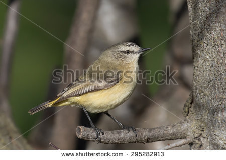 Striated Thornbill clipart #15, Download drawings