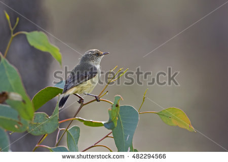 Striated Thornbill clipart #14, Download drawings