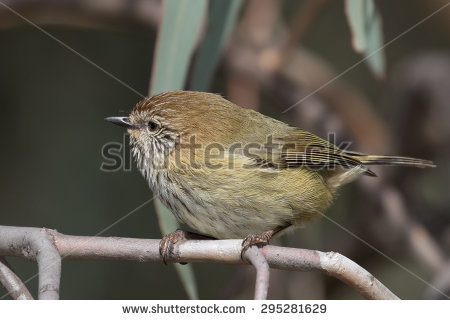 Striated Thornbill clipart #18, Download drawings