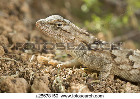 Western Fence Lizard clipart #15, Download drawings
