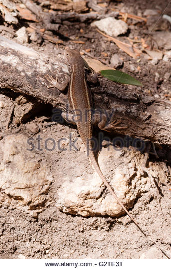 Striped Plateau Lizard coloring #18, Download drawings