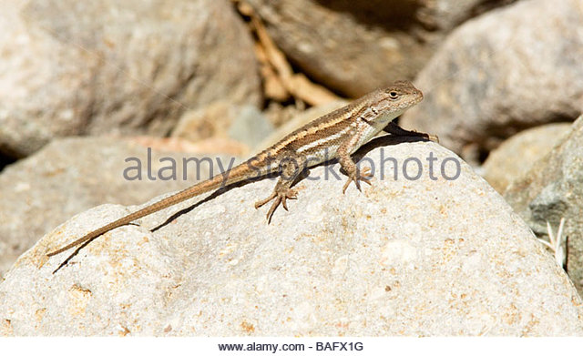 Striped Plateau Lizard coloring #15, Download drawings