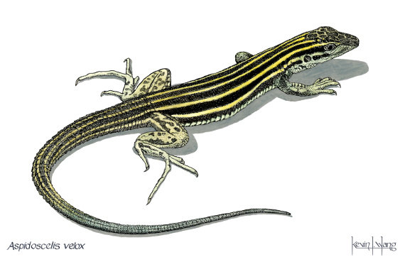 Striped Plateau Lizard clipart #19, Download drawings