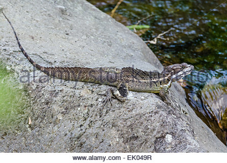 Striped Plateau Lizard coloring #14, Download drawings