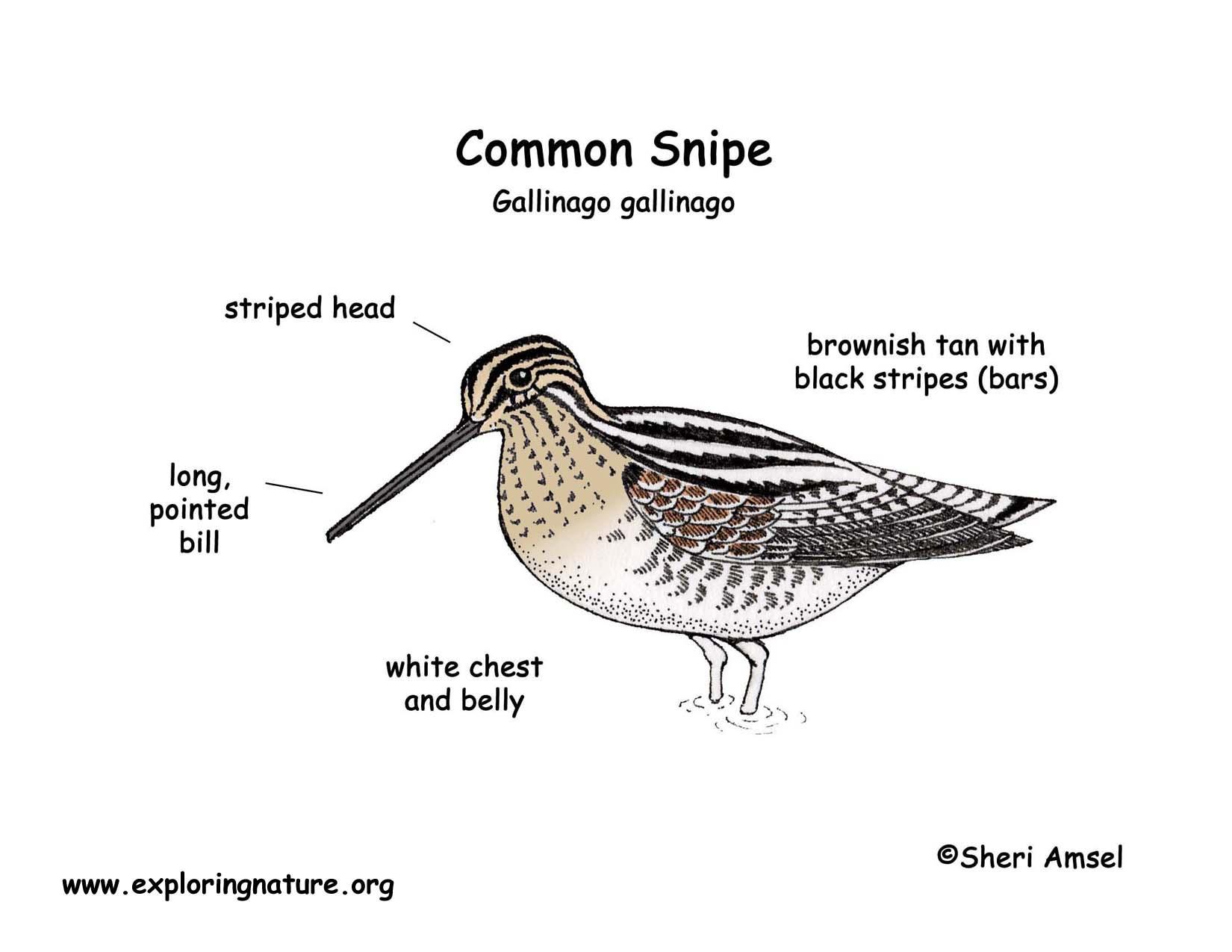 Striped-beak Snipe coloring #20, Download drawings