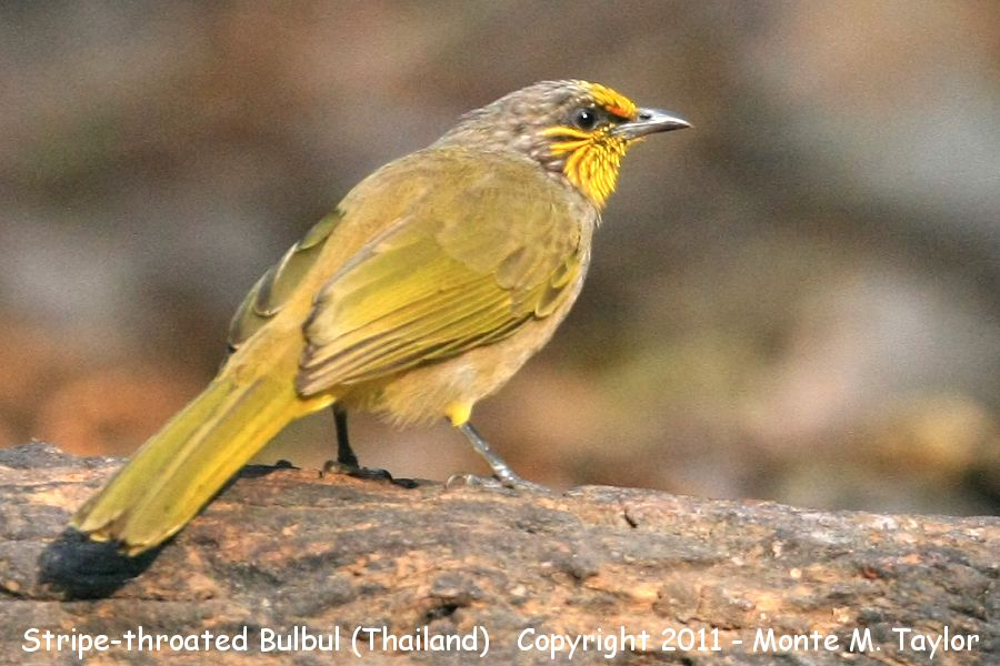 Stripe-throated Bulbul clipart #17, Download drawings