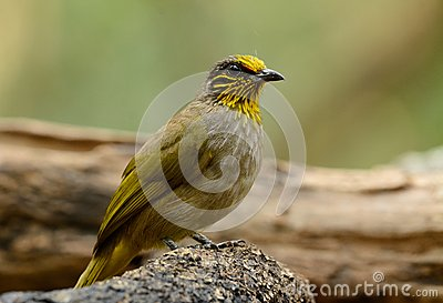 Stripe-throated Bulbul clipart #13, Download drawings