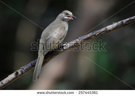 Stripe-throated Bulbul clipart #7, Download drawings