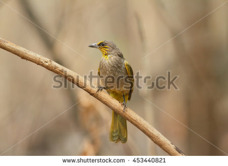 Stripe-throated Bulbul clipart #1, Download drawings