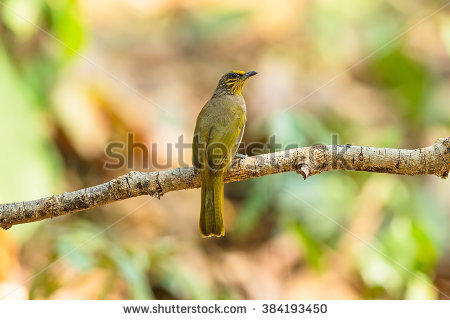 Stripe-throated Bulbul clipart #5, Download drawings