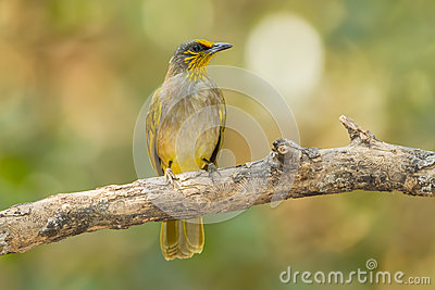 Stripe-throated Bulbul clipart #9, Download drawings
