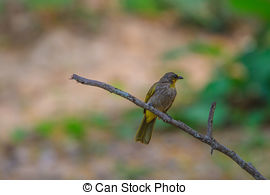 Stripe-throated Bulbul clipart #8, Download drawings