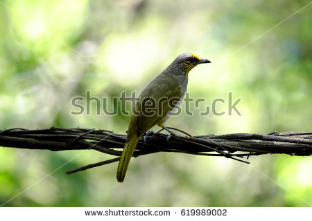 Stripe-throated Bulbul clipart #4, Download drawings