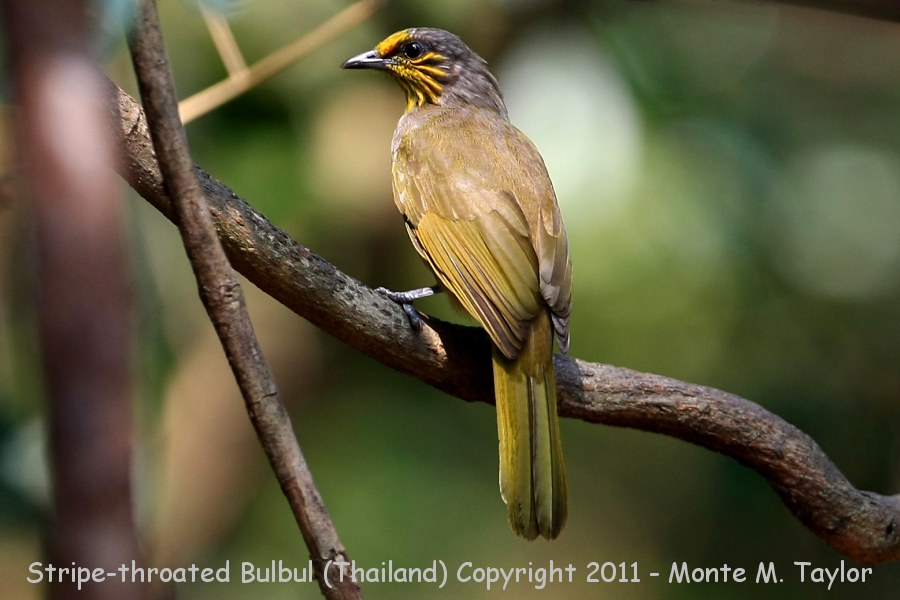Stripe-throated Bulbul clipart #18, Download drawings