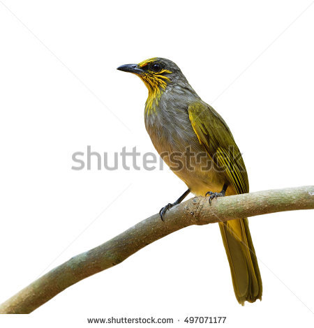 Stripe-throated Bulbul clipart #2, Download drawings