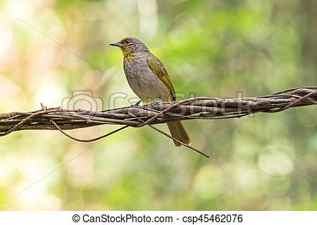 Stripe-throated Bulbul clipart #19, Download drawings