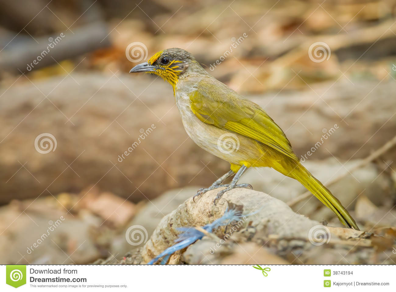 Stripe-throated Bulbul clipart #15, Download drawings