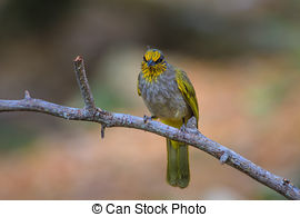 Stripe-throated Bulbul clipart #16, Download drawings