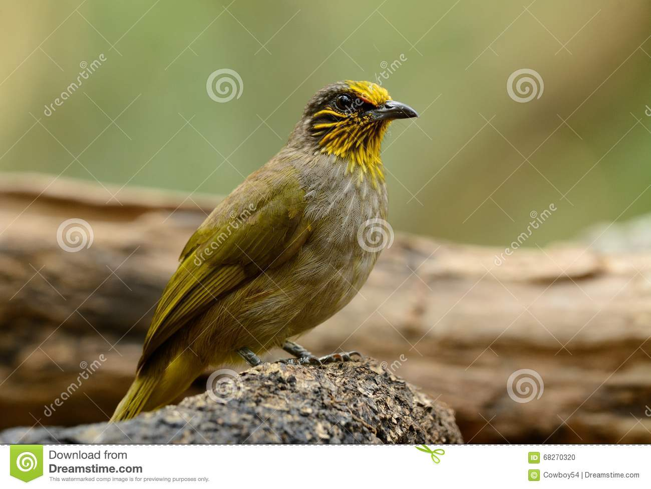 Stripe-throated Bulbul clipart #14, Download drawings
