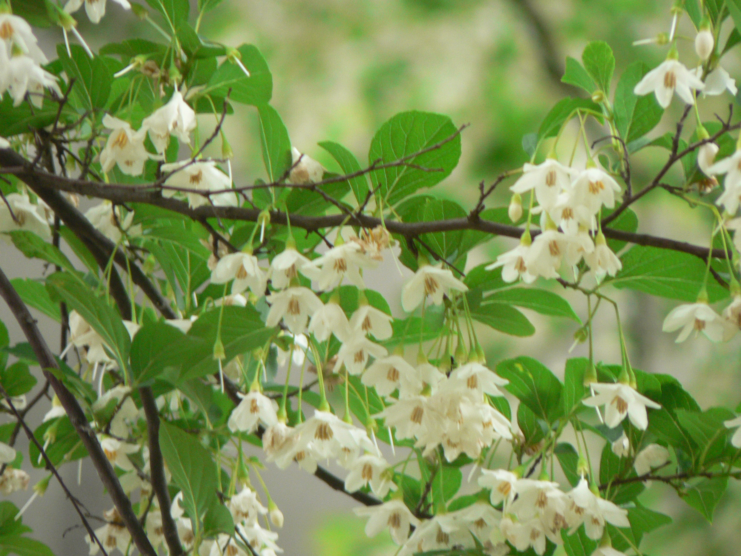 Styrax Blossom svg #17, Download drawings