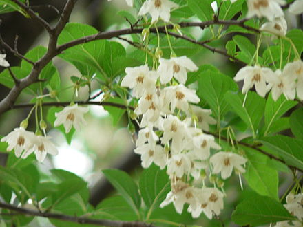 Styrax Blossom svg #9, Download drawings