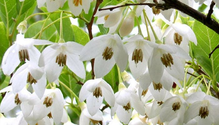 Styrax Blossom svg #2, Download drawings