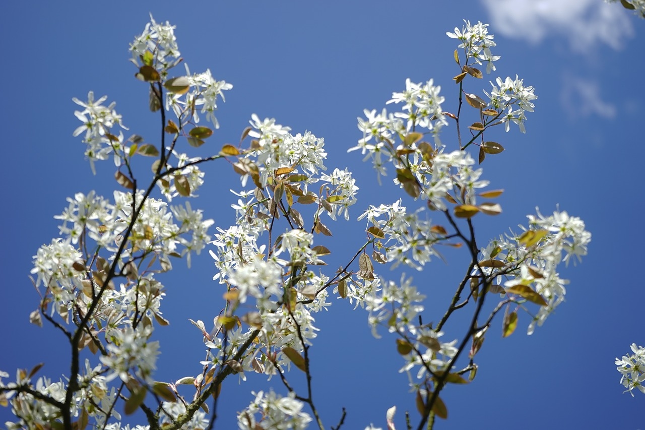Styrax Blossom svg #12, Download drawings