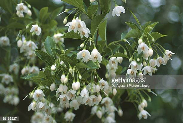 Styrax Blossom svg #20, Download drawings