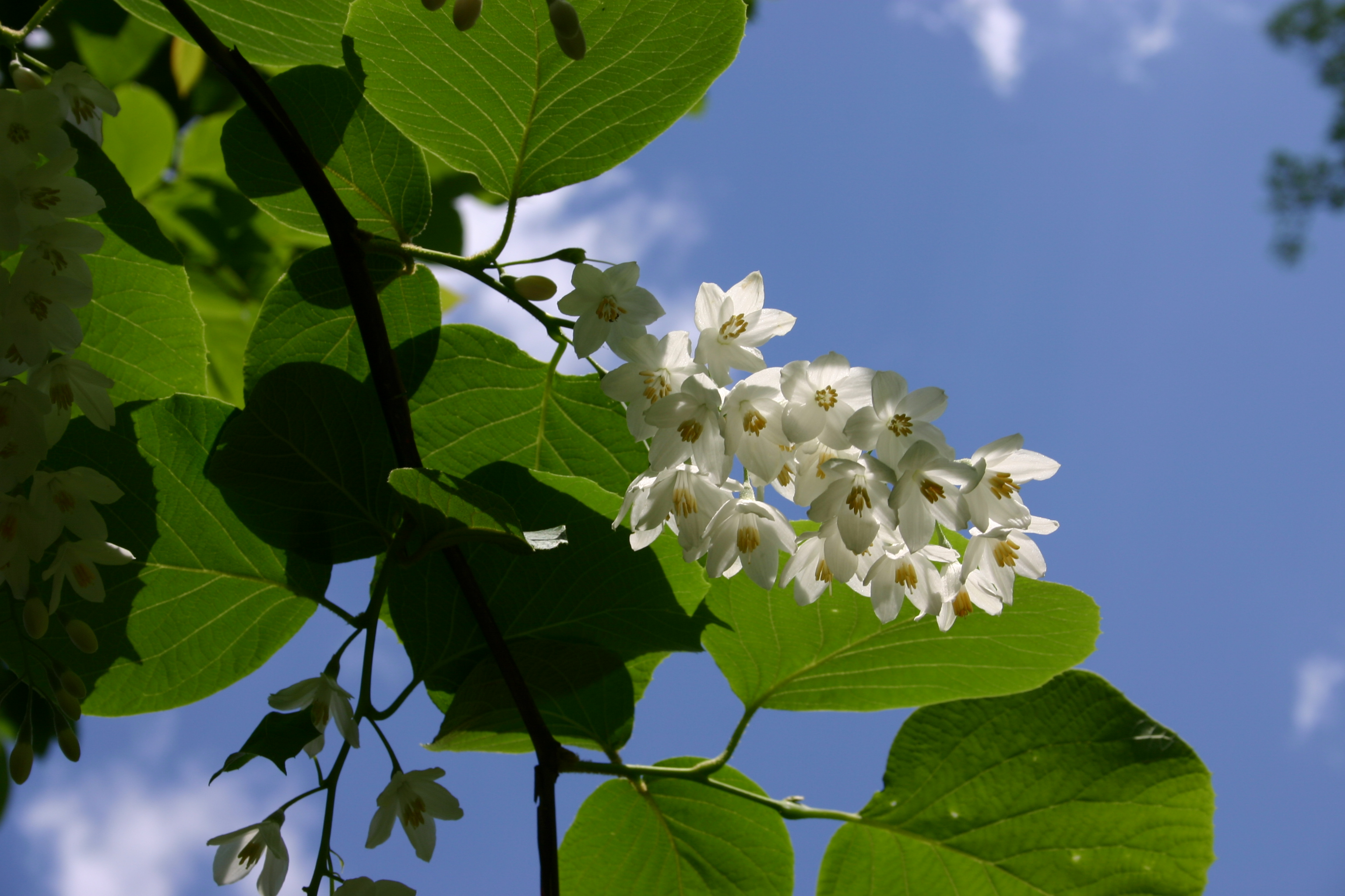 Styrax Blossom svg #14, Download drawings