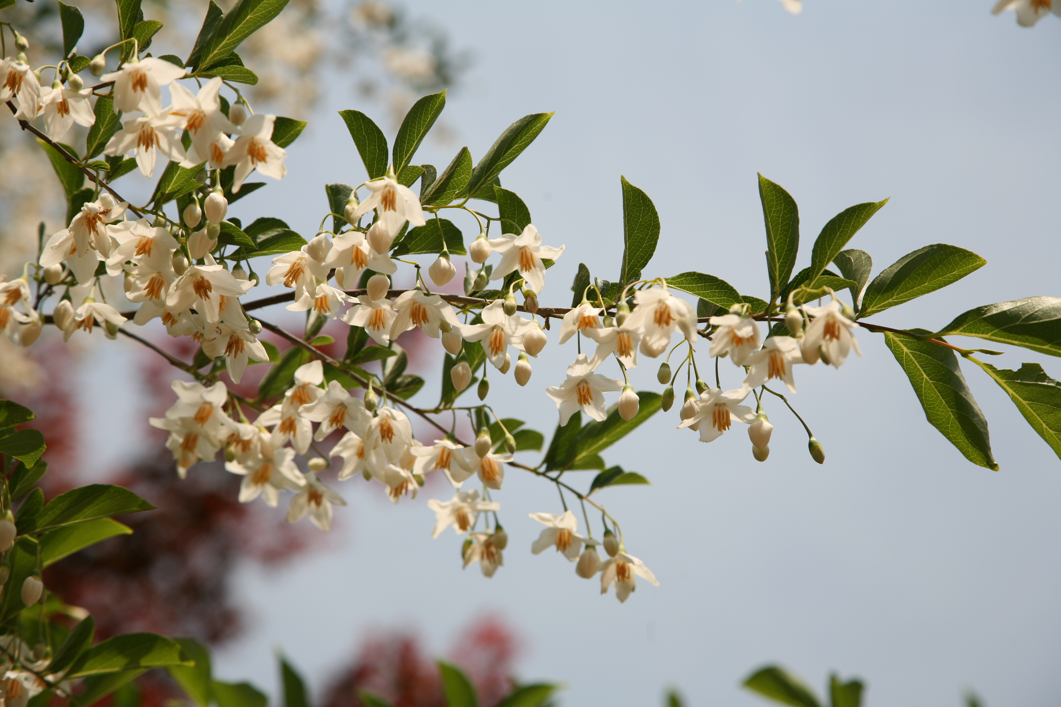 Styrax Blossom svg #1, Download drawings