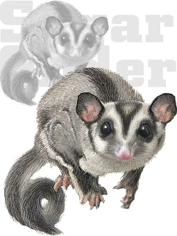 Sugar Glider clipart #7, Download drawings