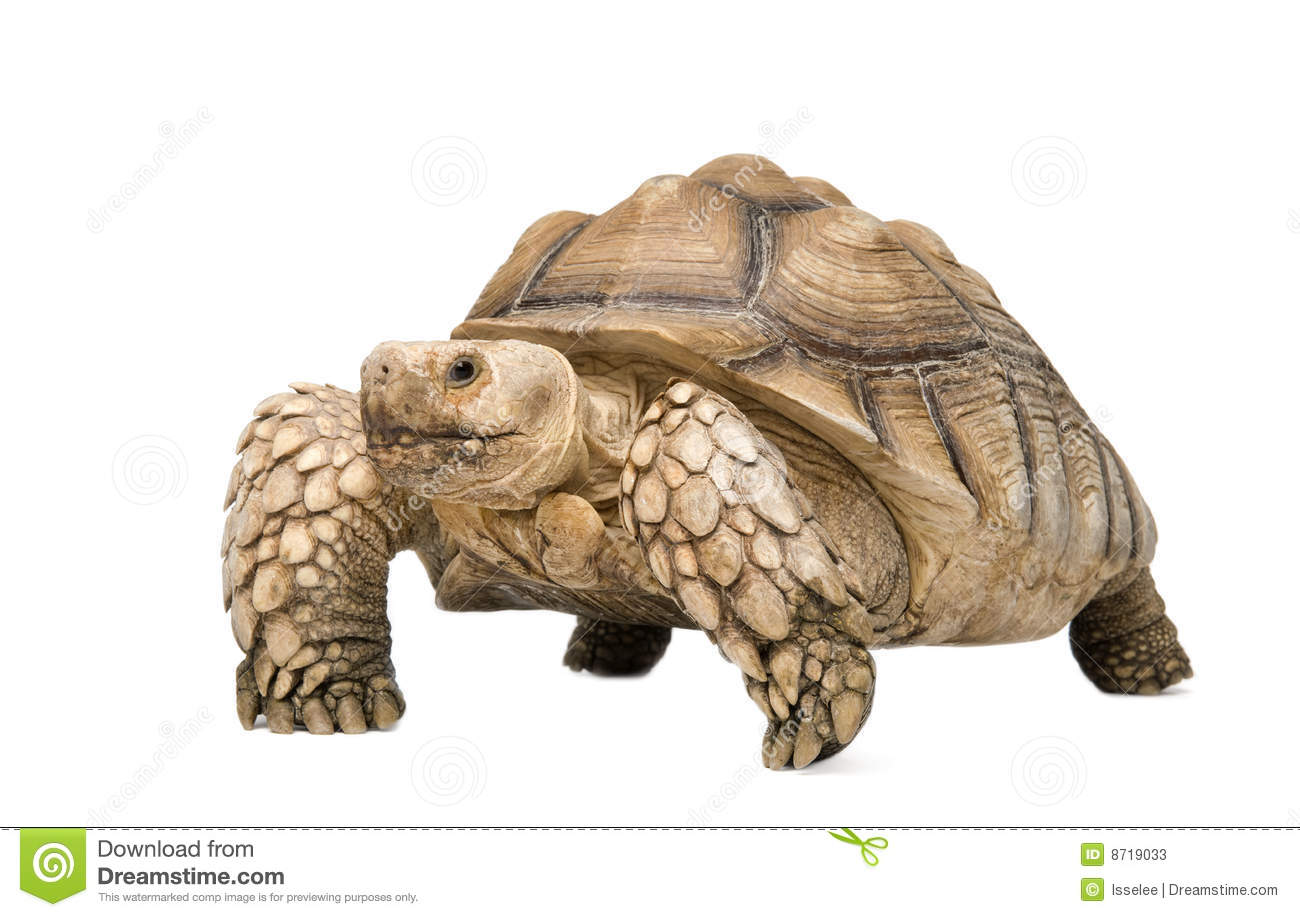 Sulcata Tortoise clipart #1, Download drawings