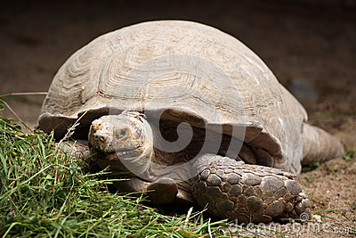 Sulcata Tortoise clipart #5, Download drawings