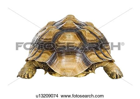 Sulcata Tortoise clipart #11, Download drawings